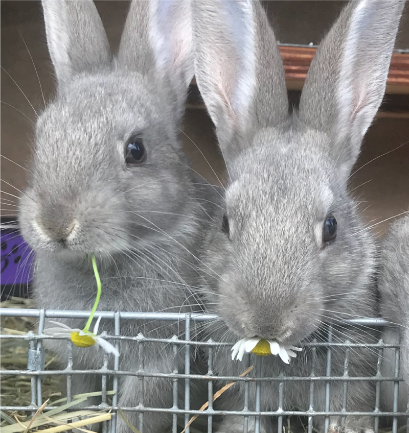 Chamomile for Bunnies